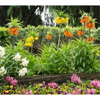 Roberta's 4 piece Fritillaria Imperial Maxima Collection