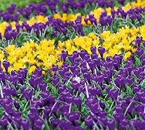 Roberta's 50 piece Giant Colorful Crocus Mix - M54880