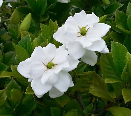 Cottage Farms Scentsational Gardenia Patio Tree