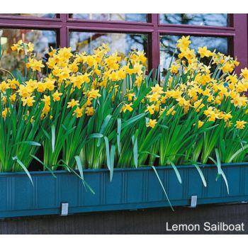 Roberta's 20 piece Fragrant Sailboat Narcissus