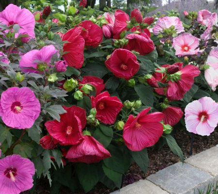 Cottage Farms 3-Pc Tropical Paradise Hardy Hibiscus Collection