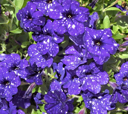 Cottage Farms 4 Piece Night Sky Petunia Collection Page