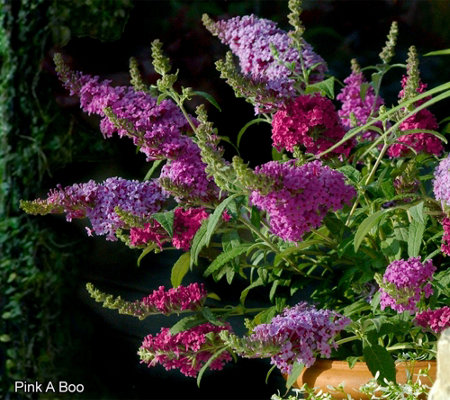 Cottage Farms 3-in-1 Compact Buzz Butterfly Bush