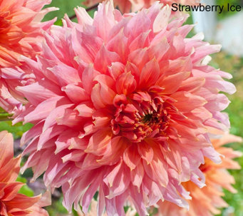 Roberta's 4-piece New Generation Over The Top Dahlia - M49093