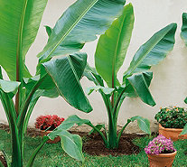 Roberta's 2-piece Winter Hardy Banana Trees - M52993