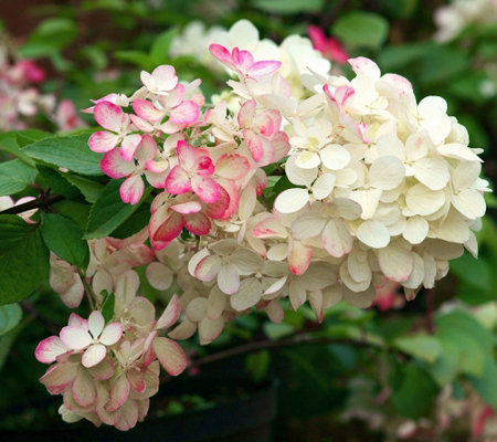 Cottage Farms Strawberry Sundae Hydrangea