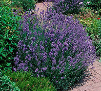 Roberta's 6-piece Fat Budded & Bushy Grosso Lavender - M49095