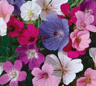 Breck's Mammoth 5-pc. Fragrant Hardy Geranium