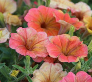 Cottage Farms 4-pc Indian Summer Multi-Colored Petunia Plants