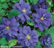 Roberta's 4-pc English Cottage Double Flowered Clematis