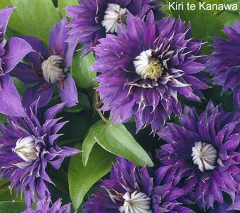 Roberta's 4-piece Long Blooming Grandiose Clematis - M49099