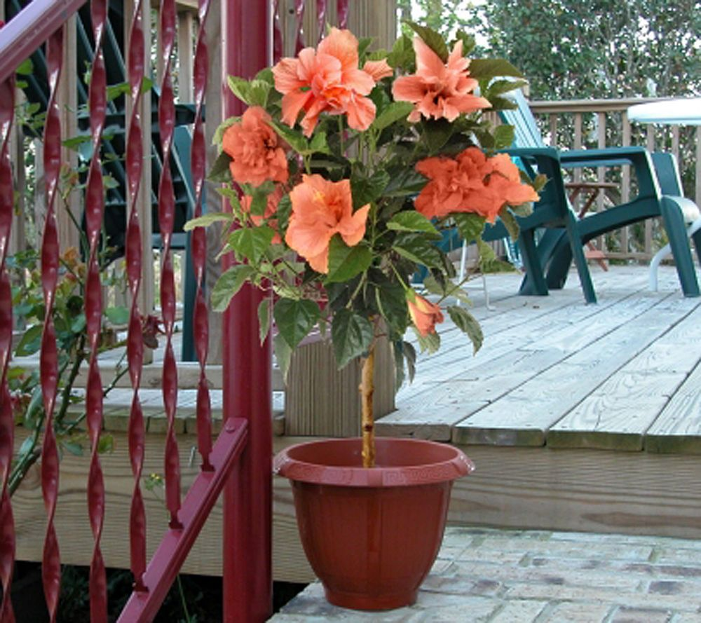 Cottage Farms Patio Perfect Topiary Tropical Hibiscus U2014 QVC.com