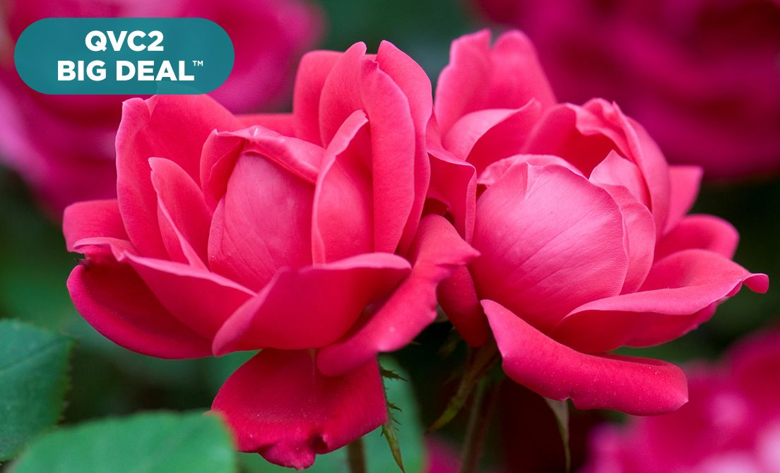 QVC2 Big Deal™ — Cottage Farms Rose Duo