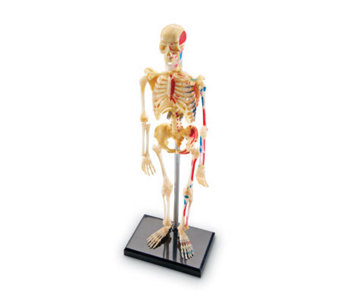 Human Body Anatomy Model by Learning Resources - T120853