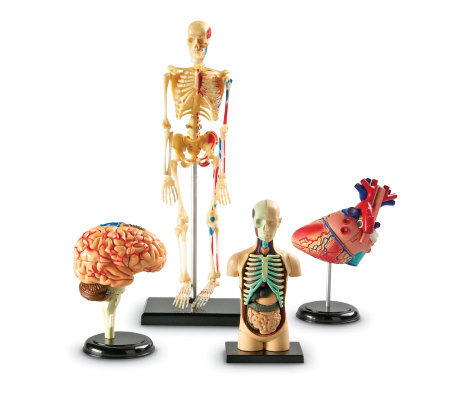 Anatomy Models Set by Learning Resources