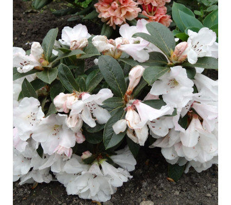 Plants2Gardens Rhododendron Tinkerbird in 3 Litre Pot