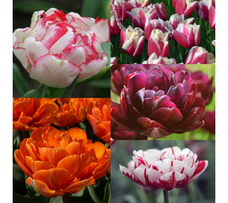 Mont Rose 25 x Peony Multi Flowered Tulip Bulbs