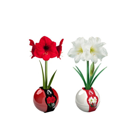 Hayloft Plants Set of 2 Giant Amaryllis Baubles