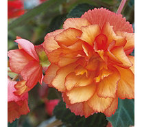 Hayloft Plants 11 x Begonia Apricot Shades & 1 Golden Picotee Plugs - 509520