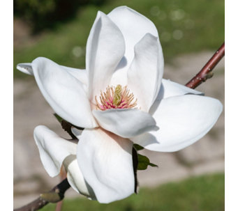 Plants2Gardens Magnolia White Dove Bare Root - 512423