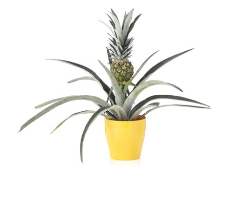 Plants2Gardens Pineapple Plant in 14cm Pot