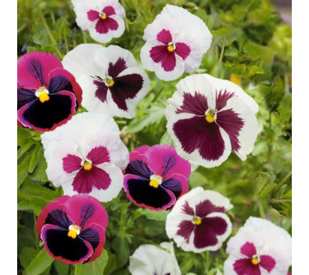 Plants2Gardens Pansy Rosie Mix