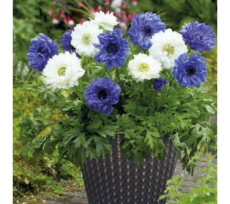 Hayloft Plants 60 x Anemone Coranaria Bulbs with 2 Decorative Pots