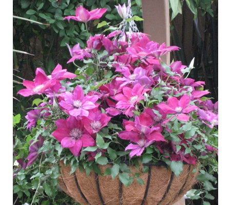 Raymond Evison 3 x Clematis Picardy in 7cm Pots