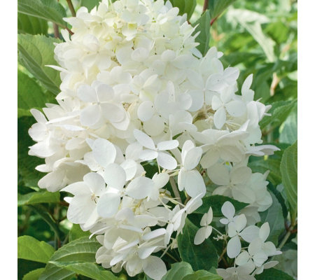plants2gardens hydrangea paniculata phantom in 3 litre pot qvc uk. Black Bedroom Furniture Sets. Home Design Ideas