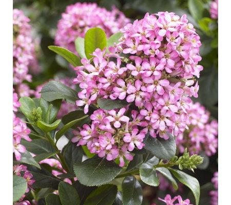 plants2gardens escallonia pink elle in 3 litre pot qvc uk. Black Bedroom Furniture Sets. Home Design Ideas