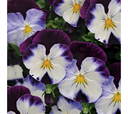 De Jager 12 x Cool Wave Trailing Pansy Plug Plants