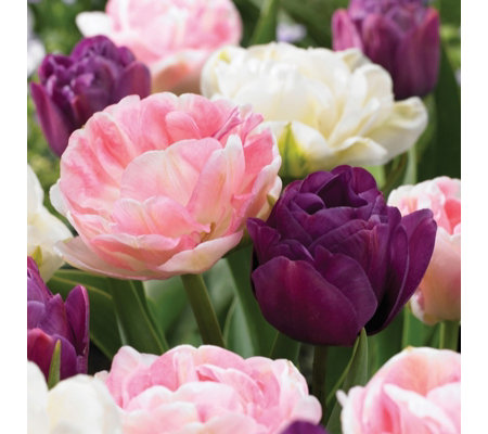 de Jager 24 x Pleasing Paeony Tulip Bulbs