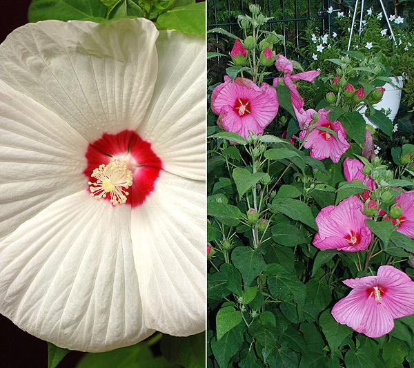 KEYZERS Rarität XXL-Hibiskus tellergroße Blüten 2 Sorten, 2 Pflanzen ...