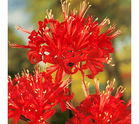 keyzers rarit t spiderlilien rote bl ten 5 pflanzen. Black Bedroom Furniture Sets. Home Design Ideas