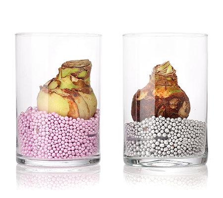 amarylliszauber amaryllis inkl glas vase dekoperlen 2. Black Bedroom Furniture Sets. Home Design Ideas