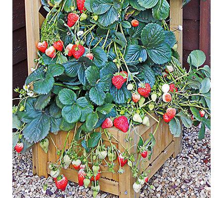 kletter erdbeere