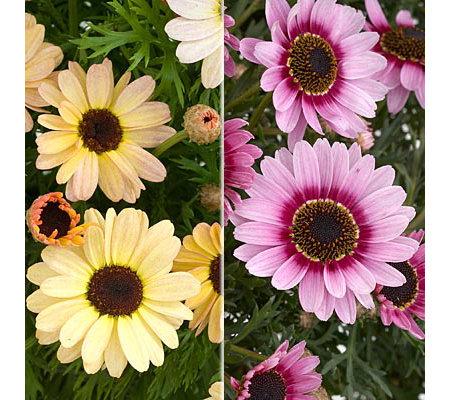 Hayloft Neuheit Margeriten Xxl Blüten 3 Sorten 6 Stück Qvcde
