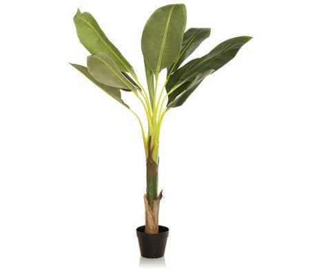 ABELLA Flora Wir lieben Blumen Bananenbaum indoorgeeignet ...