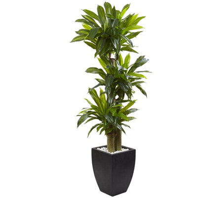 5.5' Corn Stalk Dracaena with Planter by NearlyNatural