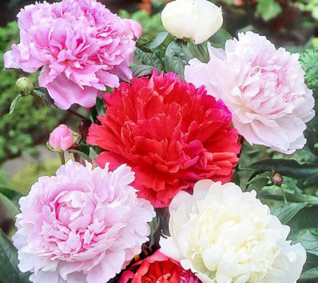 Cottage Farms 4-Piece Classic Peony Value Mix