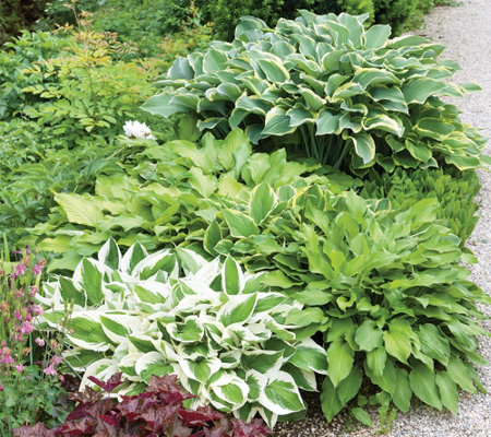 Roberta's 3-Piece Medium-Sized Hosta Assortment