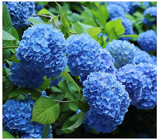 Cottage Farms 2 Piece Nikko Blue Hydrangea Qvc Com