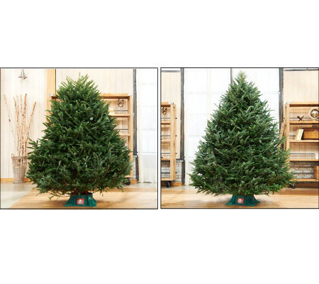 plow hearth fresh cut frasier fir christmas tree - Frasier Christmas Tree
