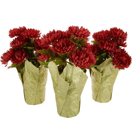 Set of 3 Harvest Mum Plants by Valerie