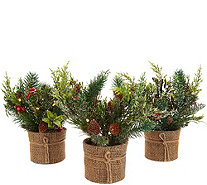 """As Is"" Scott Living Set of 3 Mini Christmas Greens in Pots - H215465"