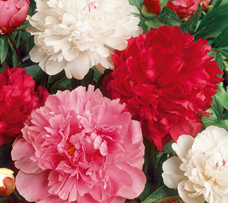 Roberta's 3-Piece Cotton Candy Peony Mix