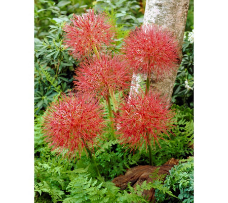 Roberta's 6-Piece African Paintbrush Starfire Lily
