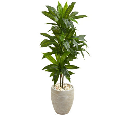 4 Dracaena Plant In Sand Colored Planter By Nearly Natural