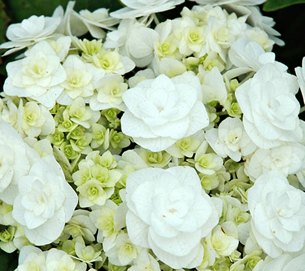 White Flower Farms Wedding Gown Hydrangea