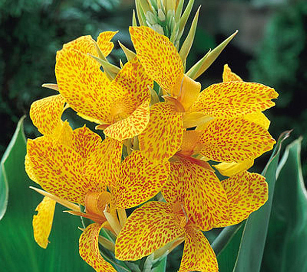 Robertas tropical canna yellow flowers with red speckles qvc mightylinksfo